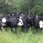 Grass fed cattle out to pasture